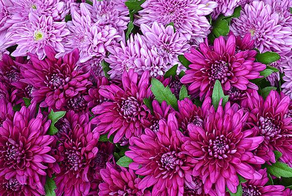 紫菊のエキス